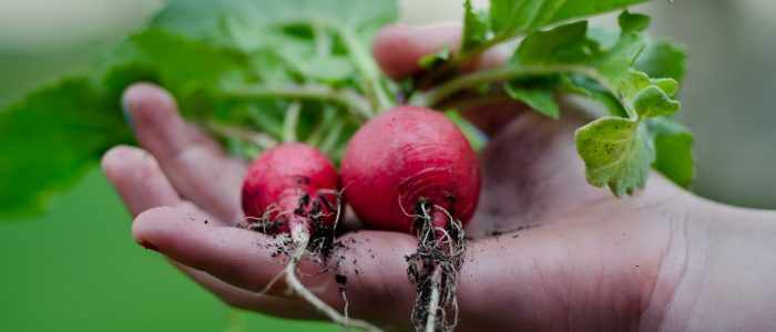 huertos ecologicos vernatura rabanitos vegan food organic vegetables garden plantas verdura