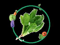 Ficha cultivo espinacas